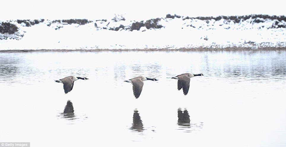 Graceful: Canada Geese fly past the snow covered banks of the River Trent today in Nottingham, one of the areas with the most snow in recent days