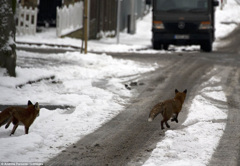 Playful: Two urban foxes tear across a road in South Woodford in east London while looking for food in the snow
