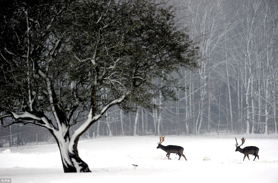 Pair: Two Stags walk through the deep snow at Raby Castle in Staindrop, County Durham, as the wintry weather continued across the UK