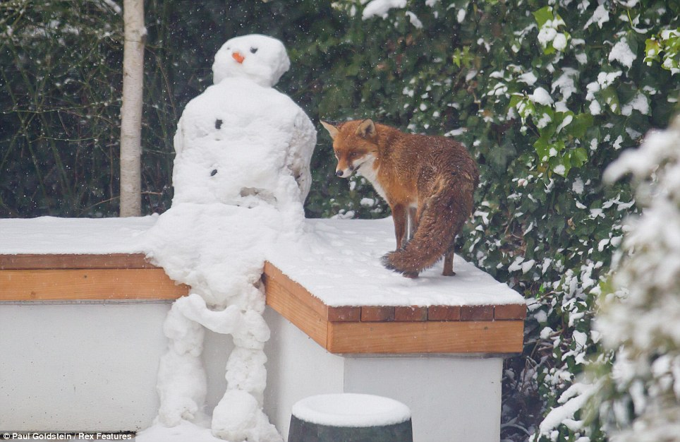 Interested: This fox went to inspect the new addition in a Wimbledon garden - the form of a slightly wonky snowman perched on a wall
