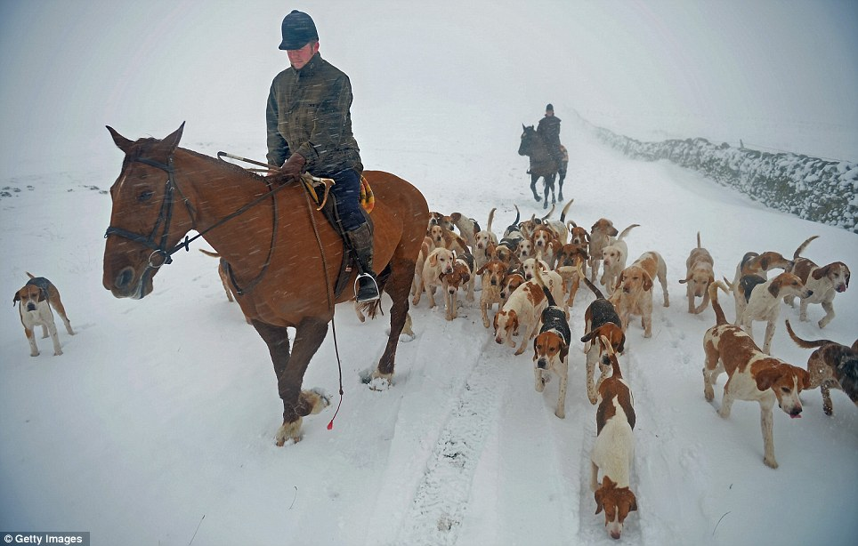 Exercise: Huntmaster Tim Coulson at the Lauderdale Hunt takes out the hounds in the snow at Scarce Law in Lauder, Scotland