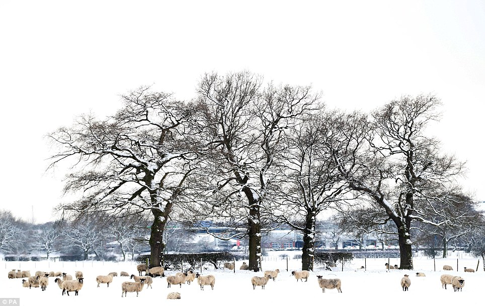 Warm coasts: Sheep in the snow near Langley, Cheshire, as the winter weather continued across the UK
