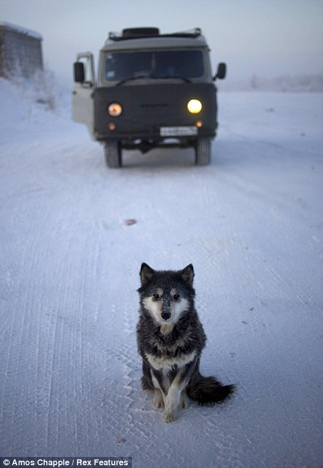 A young East Siberian Laika in Oymyakon