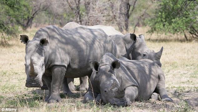 Group of White Rhino in Zimbabwe