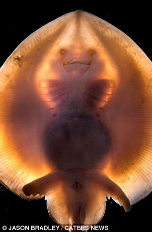 The deepsea skate, Bathyraja abyssicola, is found depths of 362-2,906m on the Pacific continental slope. It is fairly common below 1,000m, and is taken as by-catch in deepwater trawls and traps.