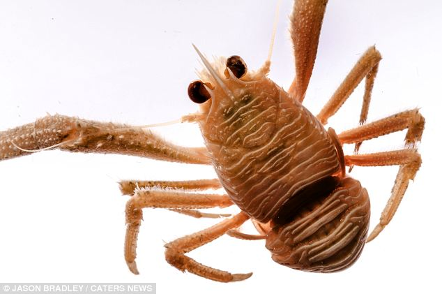 A squat lobster: These dorsoventrally flattened crustaceans have long tails which are held curled beneath the thorax. Found in oceans worldwide, they occur from near the surface to deep sea hydrothermal vents