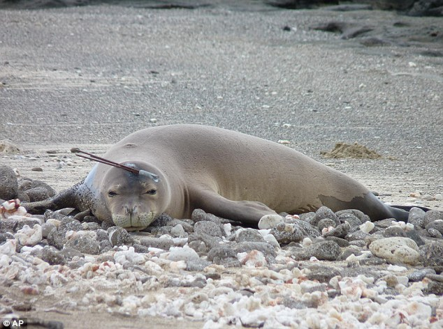 Lucky pup: Officials say the young monk seal known as RL-12 escaped major injury as the handheld spear missed all its vital organs