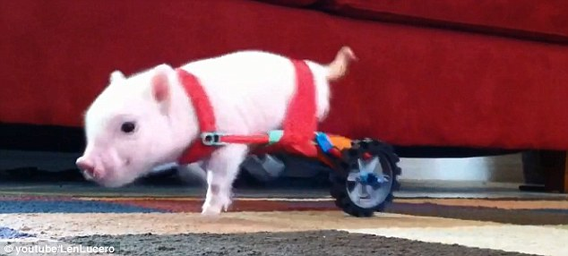 Without the wheelchair, the resilient pig is able to hop around short distances, but the chair greatly increases its mobility