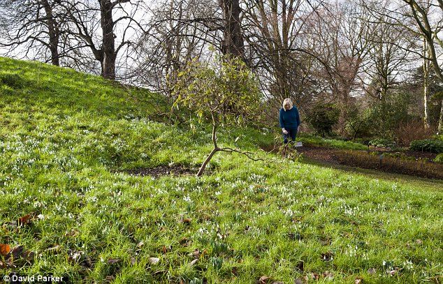 Sign of spring: Snowdrops are blooming in the Royal Botanical Gardens at Kew despite the cold