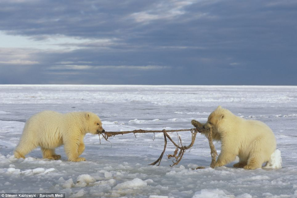 Tug of war: Two cubs mess around with the skin of a bowhead whale as they play on the snow