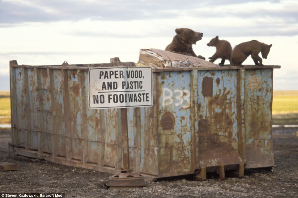 Fine dining: A hungry grizzly bear and her two cubs scavenge for food at a huge dumpster in Deadhorse, Alaska