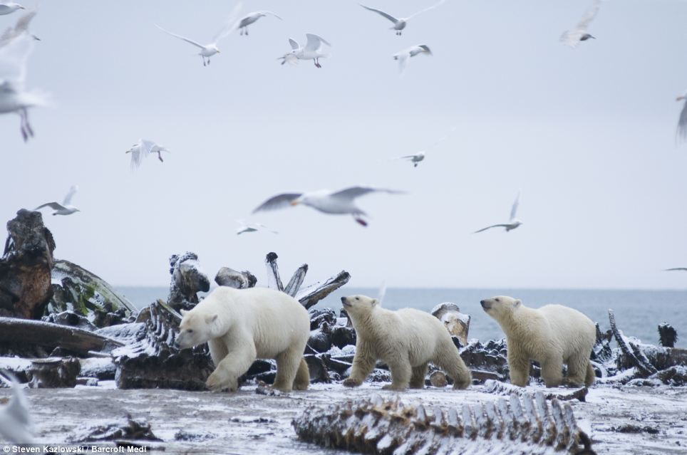 Dinner time: Birds circle overhead as a polar bear and her two cubs scavenge from the remains of a bowhead whale