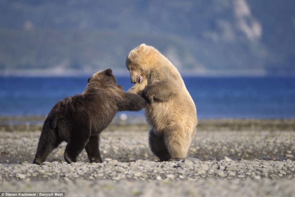 Bear necessities: A grizzly bear is pictured playing with a rare blond bear at Katmai National Park in Katmai, Alaska