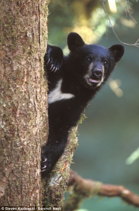 Peek-a-boo: A black bear cub keeps an eye on its surroundings as it sits in a tree at Anan Creek in Tongass National Forest, Alaska