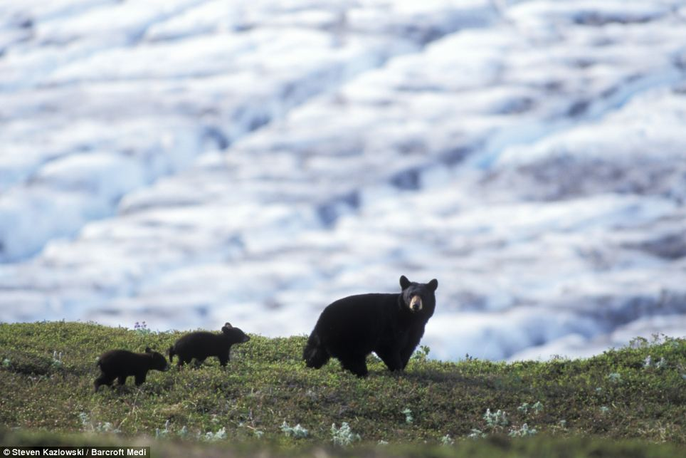 Picturesque: A mother black bear walks with her cubs in front of the beautiful Exit Glacier at Kenai Fjords National Park in Kenai, Alaska