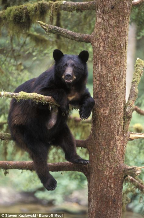 A large black bear adopts a relaxed posture