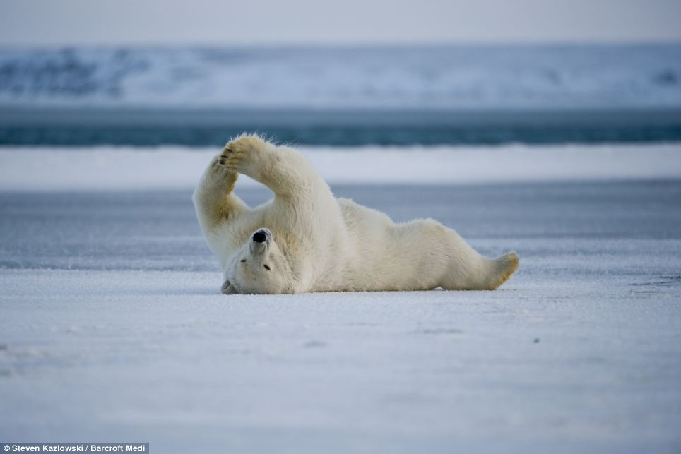 Feeling lazy: A polar bear takes a break from hunting and rolls around and stretches in the snow