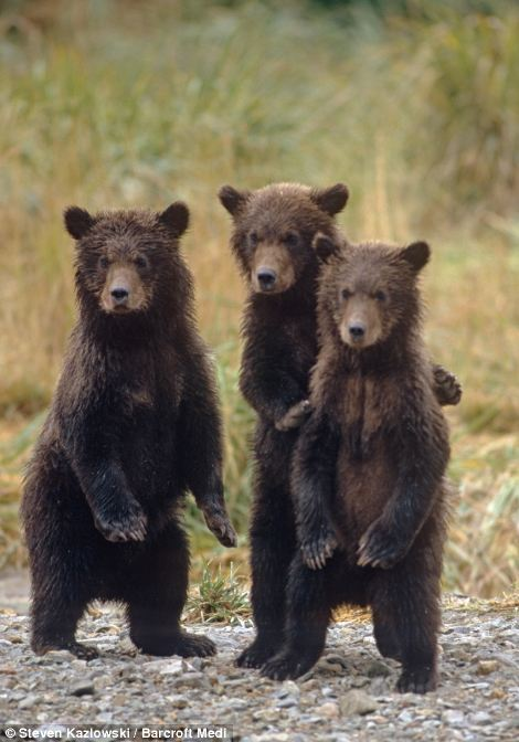 Three little bears: The trio of cubs stand on their hind legs as they wait for the return of their mother