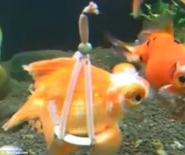 On the up: The fish sits on the disc-shaped device which gives it the lift needed to swim around