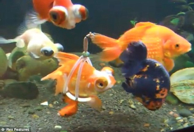 Going swimmingly: This goldfish has been given a tiny buoyancy to get it move around after a disability left it stranded on the bottom of its tank