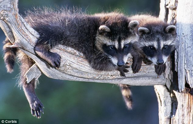 The pair of raccoons (not pictured here) halted construction at the site for a day. The animals evaded capture by experts and then left of their own accord