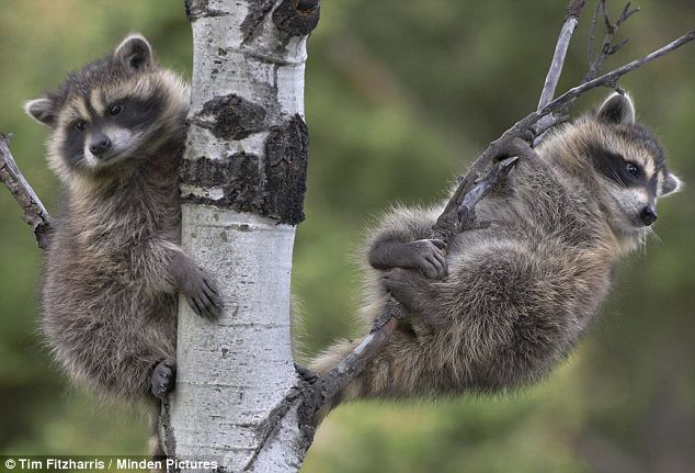 The vice-president of the construction contractors was mystified by the raccoons' behavior. 'We've never heard of anything like this,' she said. 'Maybe they thought it was a tree.'