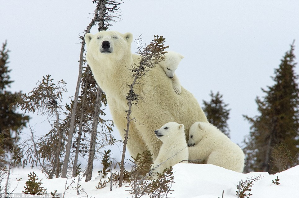 Grin and bear it: This patient mother polar bear allowed photographer Matthias Breiter close to her cubs