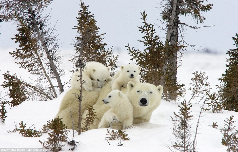 The mother polar bear never let her trio of cubs - thought to be aged three months - out of her sight