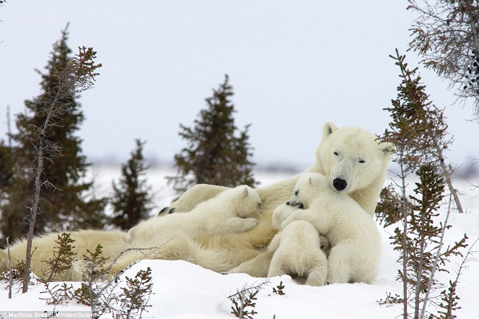 Chilling out: The mother polar bear relaxed on the ice while her three cubs played around her
