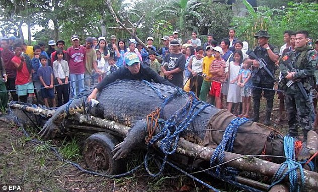 This September 2011 file picture shows the capture of Lolong. It was the largest crocodile in captivity, measuring 6.17 metres