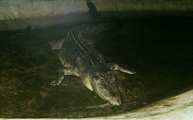 'Lolong,' the largest saltwater crocodile in captivity has died at his home in Bunawan of Agusan Del Sur province, southern Philippines. Villagers are devastated at the loss
