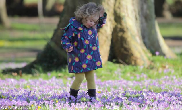 Spring time: Two year old Florence Cobb is pictured enjoying the spring-like weather in Cambridgeshire today, but it's not set to last with temperatures dropping this week