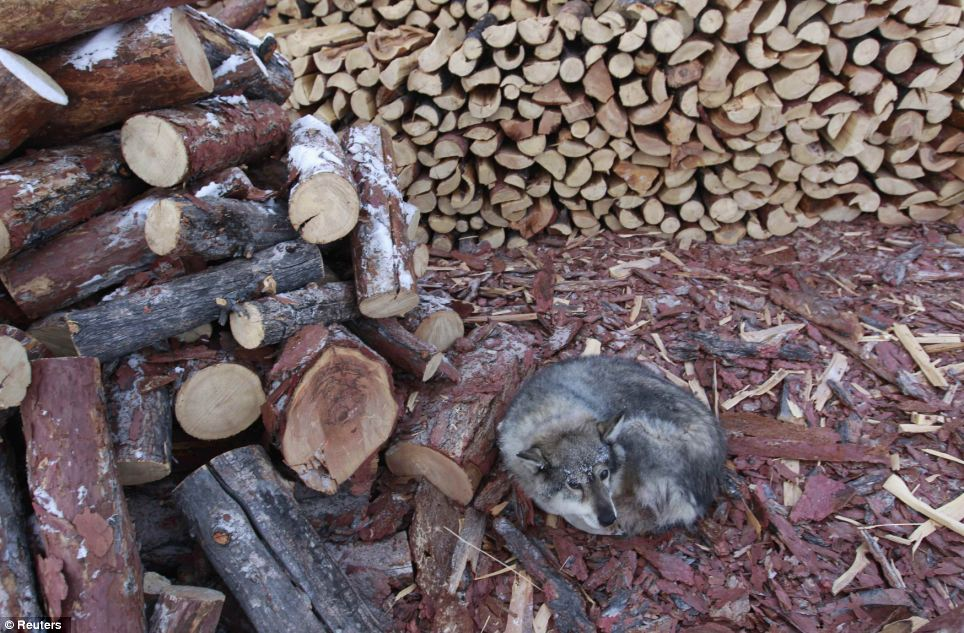 Friendly fire: A dog lies on wood shavings near a woodstack in the valley where coal deliveries are irregular forcing the power station to start burning wood