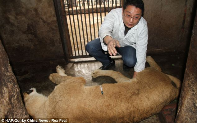Captured: A vet tends to one of the captured lions which has been tranquilised so that it can be returned to its enclosure safely