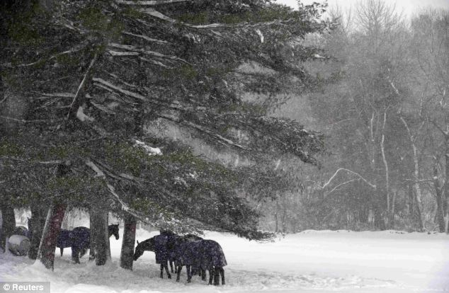 Staying warm: Horses from a stable shelter under trees during a winter storm in Dover, Massachusetts