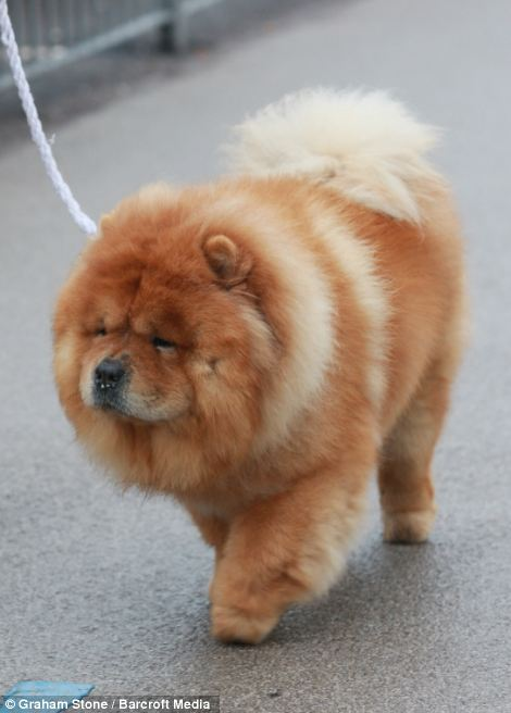 Cute: This dog is surely in the running for cutest in show