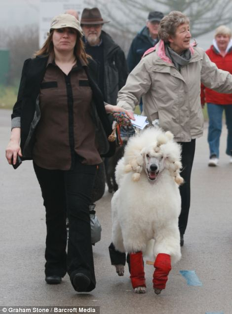 Eager competitor: A dolled up dog drags its owner towards the show, determined to strut its stuff on the Crufts catwalk