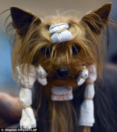 Competitive: Plenty of effort goes into make the dogs look their best