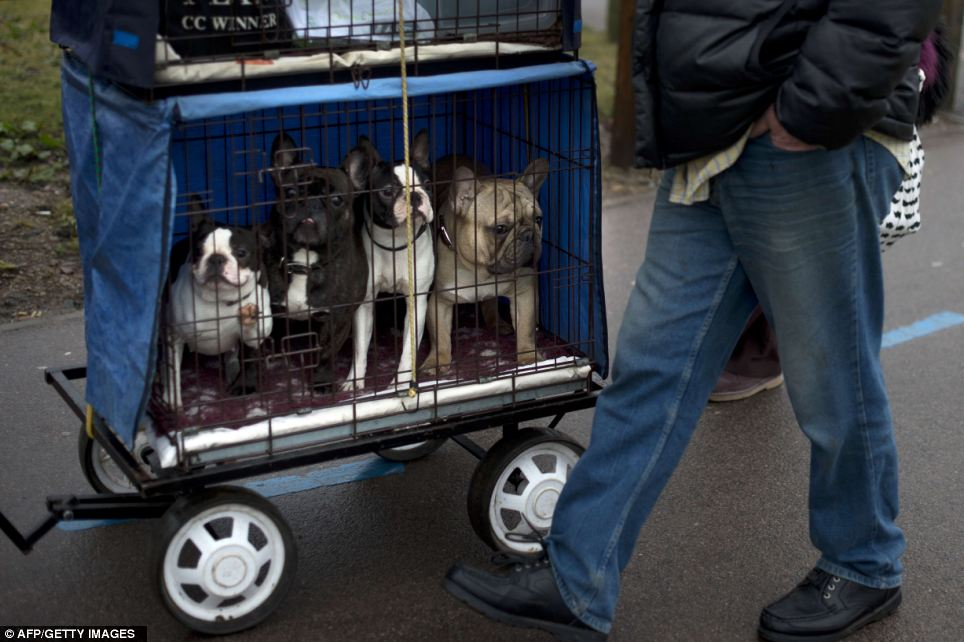 Best friends: A French bull dog, right, arrives for day two alongside three Boston terriers