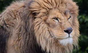 Meat from LIONS being sold in Illinois as state lawmaker pushes legislation that will ban it