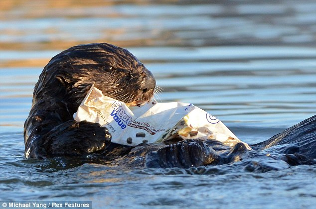 Eye for a bargain: The otter chews on the discarded cookie packet which is marked Great Value