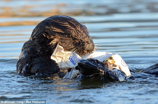 Cookie cuter: The adorable otter is not keen on giving up its treat - even though the packet is empty