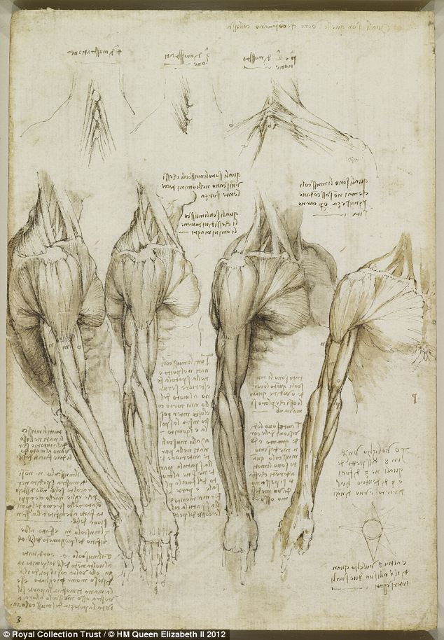 The muscles of the shoulder, arm and neck, c.1510-11: Many of the sketches date from the winter of 1510-11, when he dissected some 20 corpses at the medical school of the University of Pavia