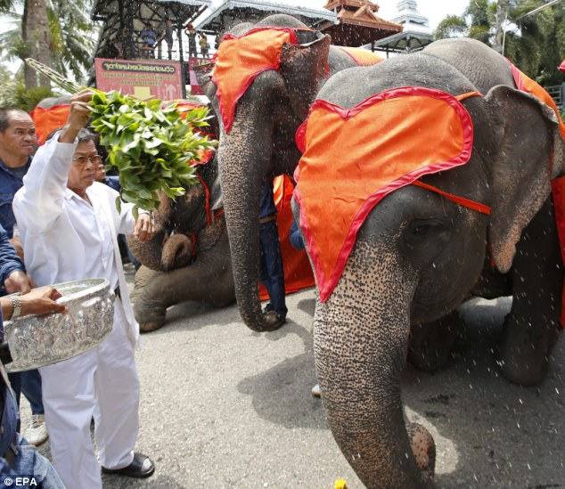Bow down: A Thai senior mahout splashes holy water blessing come of the 52 elephants during the religious ceremony in Pattaya
