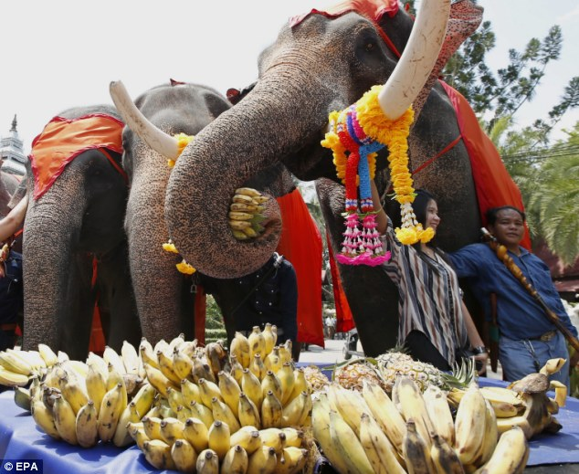 Celebration: Elephants enjoy an all-you-can-eat fruit buffet held in honour of the resort's 52 elephants on National Elephant Day in Pattaya, Chonburi province