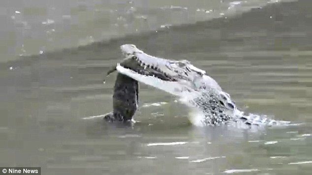 Snappy meal: The two-metre crocodile was seen chewing on a juvenile on the Daintree River, Australi