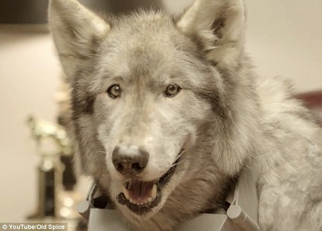 Mr Wolfdog may not ride a white horse on a palm-fringed beach, but he certainly means business