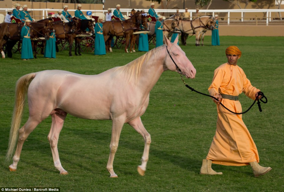 Peachy horse: The British royals were treated with a display of Khadi the pink stallion at the equestrian display in Nizwa, Oman