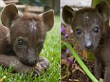Saved from a life as a 'magic charm': Baby hyena plays up for the camera after rescue from certain captivity