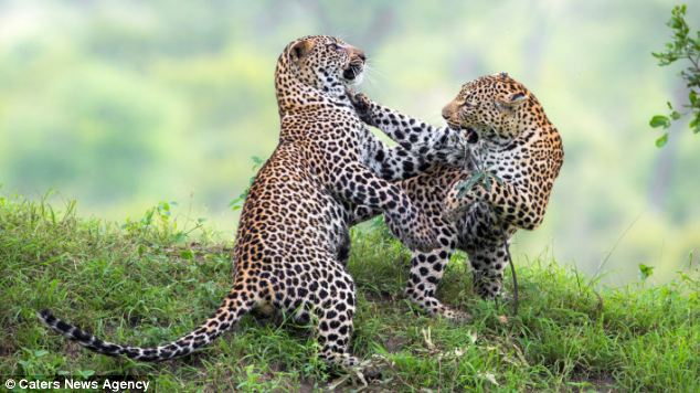 The mother and cub can be seen pawing and leaping in the air in a friendly scrap in Singita Sabi Sand, South Africa